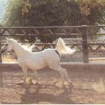 خيول عربية اصيلة - مسابقات جمال الخيول في النادي