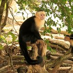 Capuchin monkey at Manuel Antonio
