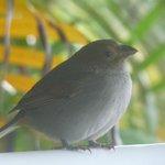 Petit oiseau qui venait picorer ...