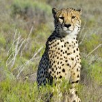 Cheetah - these guys were the hardest to find!