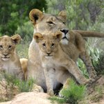 The absolute highlight of our time at Shamwari - 2 month old cubs, first sighting at Shamwari