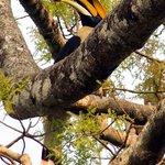 Fabulous male Great Indian Hornbill