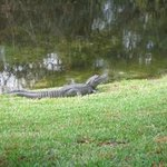 Alligator sunning behind the office.