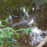 Crocs in Puerto Jimenez