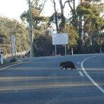 wombat na saida