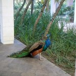 Peacocks. They loved their daily granola from our minibar!