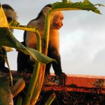 Capuchin Monkey by adult pool