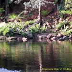 Ringarooma River - home of Platypus