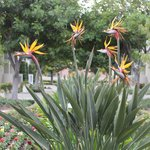Birds of Paradise on grounds