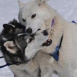 Dogsledding in New Hampshire