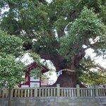 樹齢1000年を超える五社明神の大楠