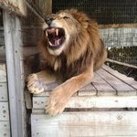 Baxter the lion