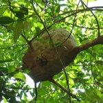 Cupinzeiro de árvore