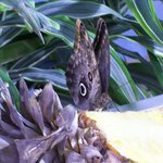 Butterfly feeding on a pineapple
