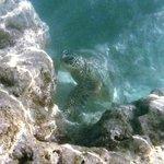 Green Sea Turtle (Honu)