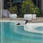 Anche i piccioni fanno toilette .. in piscina