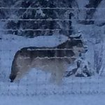 Amazing creature - timber wolf, on our way to Toby's Creek Adventures!!! We owe this wonderful s