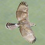 hawk - photo taken at highest elevation of park