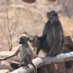 Baboons relaxing