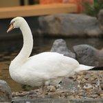 Swan in lobby