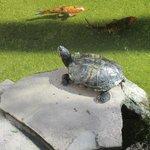 Turtle at the Koi pond