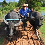 Cambodian farm ox cart ride