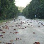 Montanhas, ruas, estradas, avenidas são tomadas pela migração em massa dos caranguejos vermelhos