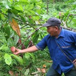 Our guide Mauricio showing us cacao bean pods on their tree