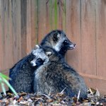 """""""Racoon dogs"""""""