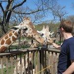 Giraffe Feeding.