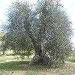 Imposanter Olivenbaum