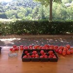 Tomatoes harvested each morning in August.