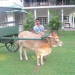 Bullock cart ready for the free ride around the estate