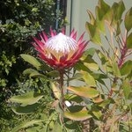 king protea in Black-heath Manor's garden