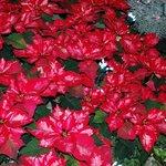 Red & white poinsettia's