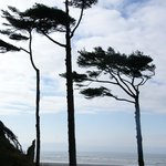 Windswept Pacific trees