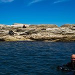 Seal swimm