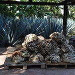 Agave plants used to make tequila