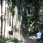 Giant Bamboo, sounds like it's going to fall on you when it blows in the wind.  So amazing!!