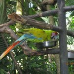 A rare parrot species of Costa Rica
