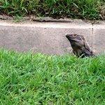 iguana on the grounds