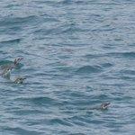 Swimming Little Blue Penguins