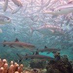 sipadan jack fish and sharks
