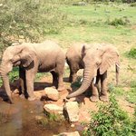 Elephants drinking at the pool in front of the restaurant