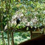 Jackfruit eating monkey near the lounge