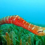 trumpet fish house reef