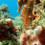 champagne beach seahorse
