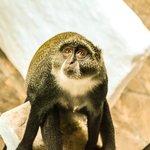 les vervets très gentil mais très malins petits singes