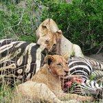 Lions feasting on a zebra
