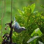 blue bird (banana thief)